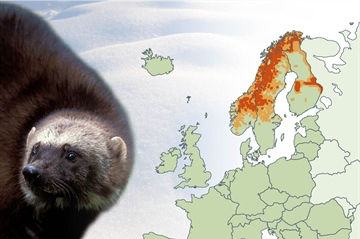 Status of wolverines in Europe