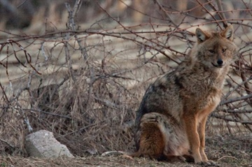 Expansion of Golden jackals across Europe creates tricky legal issues