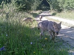 First wolf reproduction in Austria since 19th century