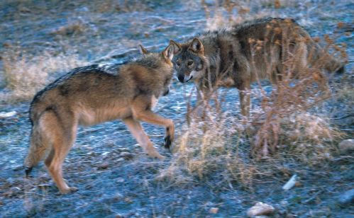 Terms Of Use >> Two Turkish wolves