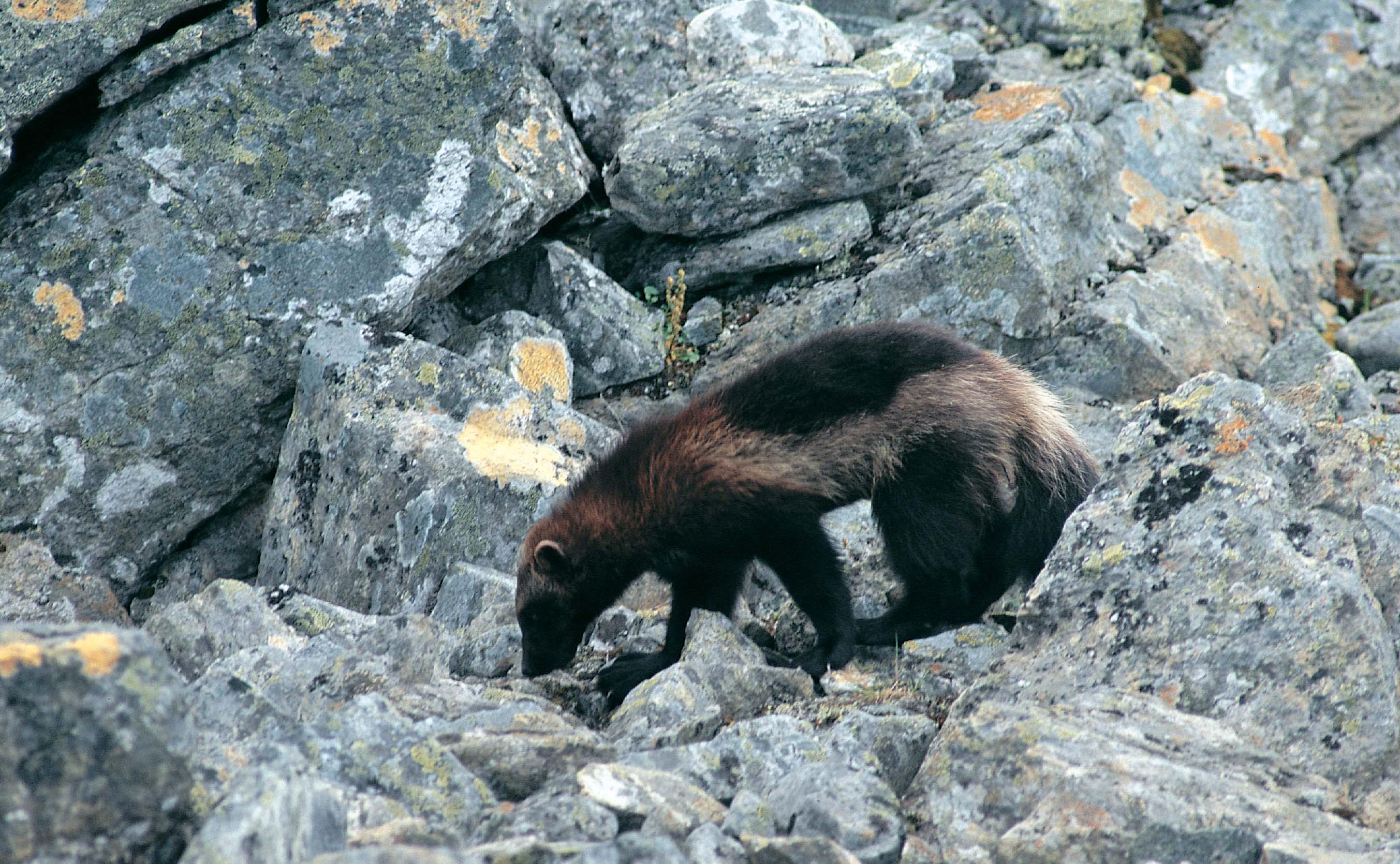 status of wolverines in europe